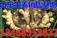 上海生姜价格