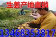 十堰生姜供应价格