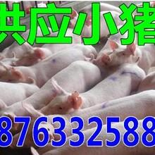 甘肃金昌今年仔猪批发价格走势图片