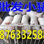 陕西安康15公斤苗猪价格是多少图片