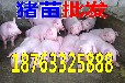 巴中养猪场市场小猪现在什么价钱