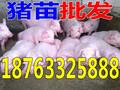 九江猪仔价图片