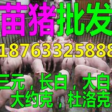 广东河北哪里批发小猪苗小猪今天仔猪价格