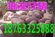 贵州重庆仔猪批发价玉溪猪仔价格今日猪价土杂猪