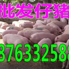 陕西小猪什么价钱仔猪苗猪销售