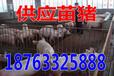 四川内江小猪养殖繁育基地