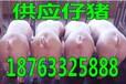安徽安庆15公斤猪苗价格是多少