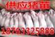 浙江杭州小猪的价格多钱一斤