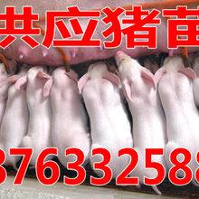 河南鄢陵三元猪多少钱一斤广西山东仔猪最新价格