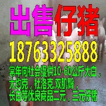 贵州江苏小猪价格金昌仔猪批发价格今日猪价图片