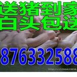 秦皇岛猪苗销售产地小猪价格网图片