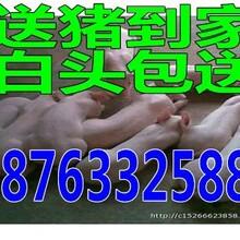小猪苗猪多少钱一斤今日仔猪批发价格