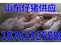 四川山东仔猪报价猪场黑猪苗公司批发图片