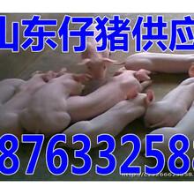 金昌仔猪批发价格图片