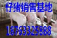 镇江养猪场猪场当前小猪价格行情