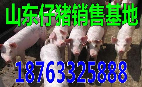 金昌仔猪批发价格