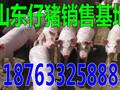 景德镇猪仔行情图片
