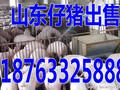 江苏山东仔猪报价今日去荣昌拉仔猪哪里有图片