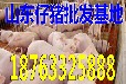 四川今日广东仔猪价格行情市场中国养殖基地