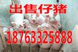 临沧猪苗小猪交易市场
