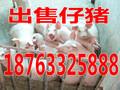 怀化预测辽宁省猪仔价格行情图片