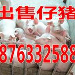 雅安仔猪价格趋势猪仔价格走势图图片
