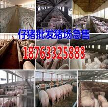 陕西商洛猪崽价格图片
