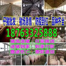 河南新乡2017最新猪崽价格行情预测图片