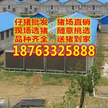 湖南郴州2017年小猪仔价格是多少图片