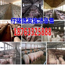 广西崇左猪仔交易市场收购价格图片