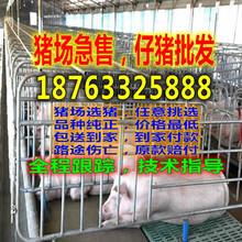 重庆渝北猪仔的价格图片