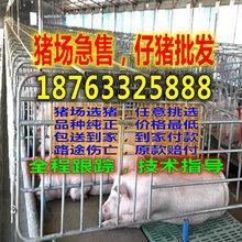 山西吕梁猪仔交易行情图片