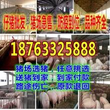 陕西西安猪仔最新价格行情预测图片