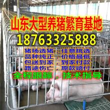 重庆奉节县猪仔销售基地图片