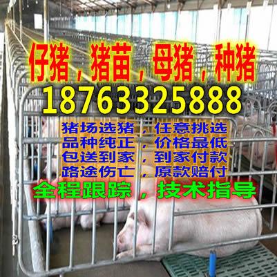 河南仔猪交易市场_【昆明黑猪养殖基地】-黄页88网