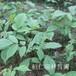 核桃楸苗、東北核桃楸基地、核桃楸樹苗價格