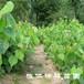 紫椴樹苗,遼寧紫椴小苗,歐洲小葉椴砧木