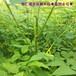 20公分以上刺嫩芽苗價格實惠,刺老包苗