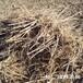 刺老芽幼苗圖片,刺嫩芽幼苗批發,刺嫩芽苗基地