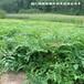 瑞林刺老芽苗,黑龙江1-40cm刺嫩芽苗基地直供