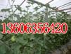 莘縣最大的瓜果蔬菜交易市場代收西紅柿甜瓜