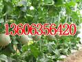 莘县代收瓜果蔬菜价格合理长期供应瓜果蔬菜图片