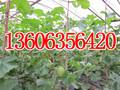 个人代收各种瓜果蔬菜价格0635-755168图片