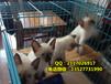 广州哪里有卖暹罗猫泰国暹罗猫价格