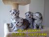 广州哪里有卖折耳猫苏格兰折耳猫价格
