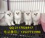 广州哪里有卖金吉拉猫广州金吉拉猫一只多少钱