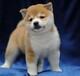 肇庆哪里买狗信誉比较好肇庆哪里有卖柴犬柴犬价格