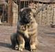 肇庆出售小狗的地方肇庆哪里有卖高加索高加索价格
