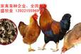 清远鸡苗出售,国内专业清远鸡种批发,广东清远鸡苗价格
