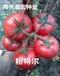 进口西红柿种子公司为您分享:耐低温西红柿种子价格